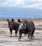 Two black rhinos on the open plains at Amboseli. Poaching of this severely endangered species led to its extermination in this region in the late 1980's.Rhinos have very poor eyesight and are prone to charge at the slightest noise or disturbance. . Stock Photo - Premium Rights-Managed, Artist: AWL Images, Code: 862-03366446