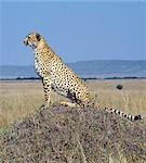 A cheetah surveys the grassy plains of Masai Mara from a termite mound. The cheetah is a fast,efficient and frequent killer of gazelles and impala. . Stock Photo - Premium Rights-Managed, Artist: AWL Images, Code: 862-03366453