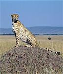 A cheetah surveys the grassy plains of Masai Mara from a termite mound. The cheetah is a fast,efficient and frequent killer of gazelles and impala. . Stock Photo - Premium Rights-Managed, Artist: AWL Images, Code: 862-03366454