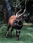 A Bongo bull in a forest clearing. The range in Kenya of this thickset,reddish-brown antelope is restricted to high altitude forests; as such,they are rarely seen. Both males and females have lyre-shaped horns with pale tips but only bulls darken with age until they are almost black. . Stock Photo - Premium Rights-Managed, Artist: AWL Images, Code: 862-03366460