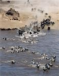 Burchell's Zebras and white-bearded gnus,or wildebeest,cross the Mara River during the latter's annual migration from the Serengeti National Park in Tanzania to Masai Mara Game Reserve. Stock Photo - Premium Rights-Managed, Artist: AWL Images, Code: 862-03366513