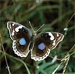 Junonia oenone (male). Stock Photo - Premium Rights-Managed, Artist: AWL Images, Code: 862-03366525