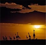 A herd of Masai giraffes at sunset in the Masai Mara National Reserve. Stock Photo - Premium Rights-Managed, Artist: AWL Images, Code: 862-03366557