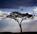 Vultures roost in an acacia tree shortly before dusk.
