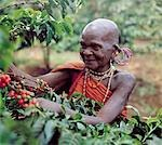 An old Kikuyu lady picks coffee.Taken in the 1960's,this photograph depicts a traditional form of dress and ear ornaments among Kikuyu women,which has completely disappeared. Stock Photo - Premium Rights-Managed, Artist: AWL Images, Code: 862-03366585