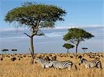 Tens of thousands of zebra and wildebeest graze the grasslands in Masai Mara Game Reserve during their annual migration from Serengeti. Stock Photo - Premium Rights-Managed, Artist: AWL Images, Code: 862-03366655