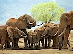 A herd of elephants drinking at a waterhole in Tsavo West National Park,Kenya Stock Photo - Premium Rights-Managed, Artist: AWL Images, Code: 862-03366666