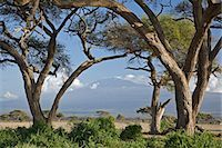 Kenya,Amboseli,Amboseli National Park. Mount Kilimanjaro framed by large acacia trees (Acacia tortilis) in the Amboseli National Park. Stock Photo - Premium Rights-Managednull, Code: 862-03366749