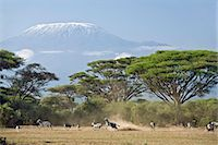 Kenya,Amboseli,Amboseli National Park. Animals run away from a predator with majestic Mount Kilimanjaro towering above large acacia trees (Acacia tortilis) in Amboseli National Park. Stock Photo - Premium Rights-Managednull, Code: 862-03366751