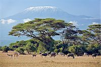 Kenya,Amboseli,Amboseli National Park. Animals graze the parched grass plains with majestic Mount Kilimanjaro towering above large acacia trees (Acacia tortilis) in Amboseli National Park. Stock Photo - Premium Rights-Managednull, Code: 862-03366752