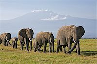 Kenya,Amboseli,Amboseli National Park. A line of elephants (Loxodonta africana) move to Amboseli swamp with majestic Mount Kilimanjaro towering in the background. Stock Photo - Premium Rights-Managednull, Code: 862-03366754