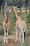 Kenya,Nairobi,Langata Giraffe Centre. Two Reticulatedi Giraffe stand together. Stock Photo - Premium Rights-Managed, Artist: AWL Images, Code: 862-03366847
