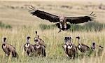 Kenya,Maasai Mara,Narok district. A white-backed vulture comes in to land near a kill in the Masai Mara National Reserve of Southern Kenya. Stock Photo - Premium Rights-Managed, Artist: AWL Images, Code: 862-03366904
