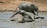 Kenya,Tsavo East,Ithumba. Young elephants enjoy a mud bath at Ithumba where the David Sheldrick Wildlife Trust runs a very important unit for orphans. Stock Photo - Premium Rights-Managed, Artist: AWL Images, Code: 862-03366915
