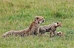 Kenya,Narok district,Masai Mara. A cheetah and her cubs in Masai Mara National Reserve. Stock Photo - Premium Rights-Managed, Artist: AWL Images, Code: 862-03366954