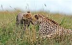 Kenya,Narok district,Masai Mara. A cheetah cub greets its mother in Masai Mara National Reserve. Stock Photo - Premium Rights-Managed, Artist: AWL Images, Code: 862-03366955