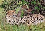 Kenya,Narok district,Masai Mara. A cheetah and her cubs in Masai Mara National Reserve. Stock Photo - Premium Rights-Managed, Artist: AWL Images, Code: 862-03366957