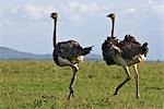 Kenya,Narok district,Masai Mara. Two Maasai ostrich hens in Masai Mara National Reserve. Stock Photo - Premium Rights-Managed, Artist: AWL Images, Code: 862-03366975