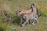 Kenya,Narok district,Masai Mara. A female leopard and its cub in Masai Mara National Reserve. Stock Photo - Premium Rights-Managed, Artist: AWL Images, Code: 862-03367012