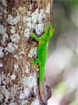 A spectacular day gecko (Phelsuma madagascariensis grandis) is one of roughly 70 gecko species in Madagascar. It is the largest (up to 30 cm long) in northern Madagascar with the brightest colours. Geckoes outnumber all other lizard species on the island. Stock Photo - Premium Rights-Managed, Artist: AWL Images, Code: 862-03367263