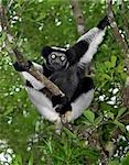 An Indri (Indri indri) lemur in eastern Madagascar. The Indri are Madagscar's largest lemur,standing about a metre high,with a barely visible tail. Stock Photo - Premium Rights-Managed, Artist: AWL Images, Code: 862-03367281