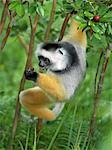 A Diademed Sifaka (Propithecus diadema) eating wild guava fruit in Matandia National Park,eastern Madagascar. Stock Photo - Premium Rights-Managed, Artist: AWL Images, Code: 862-03367283