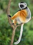 A Diademed Sifaka (Propithecus diadema) in Matandia National Park,eastern Madagascar. Stock Photo - Premium Rights-Managed, Artist: AWL Images, Code: 862-03367284