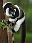 A Black-and-white Ruffed Lemur (Varecia variegata) in Mantadia National Park,eastern Madagascar. Stock Photo - Premium Rights-Managed, Artist: AWL Images, Code: 862-03367288