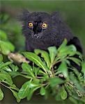 A Black Lemur (Eulemur macaco). This species inhabits the offshore islands in the northeast of Madagascar. Stock Photo - Premium Rights-Managed, Artist: AWL Images, Code: 862-03367297