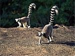 Two Ring-tailed Lemurs (Lemur catta) cross a large rock in the Anja Park in the late afternoon. These lemurs are easily recognisable by their banded tails. Stock Photo - Premium Rights-Managed, Artist: AWL Images, Code: 862-03367307