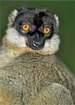 A Brown lemur (Eulemur fulvus fulvus). Stock Photo - Premium Rights-Managed, Artist: AWL Images, Code: 862-03367317