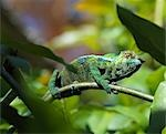 A brightly-coloured panther chameleon (Furcifer padalis). Stock Photo - Premium Rights-Managed, Artist: AWL Images, Code: 862-03367325