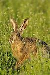 Hare in Field of Flowers Stock Photo - Premium Rights-Managed, Artist: Raimund Linke, Code: 700-03368504