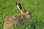 Profile of Hare in Grass Stock Photo - Premium Rights-Managed, Artist: Raimund Linke, Code: 700-03368505