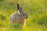 Hare in Grass Stock Photo - Premium Rights-Managed, Artist: Raimund Linke, Code: 700-03368506
