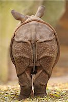 Rear View of Rhinoceros Calf Stock Photo - Premium Rights-Managednull, Code: 700-03368520