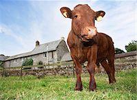 Calf standing in meadow Stock Photo - Premium Royalty-Freenull, Code: 635-03373069