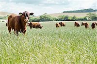 Cows standing in meadow Stock Photo - Premium Royalty-Freenull, Code: 635-03373070