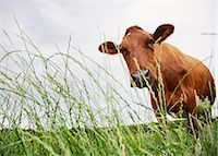 Cow standing in meadow behind grass Stock Photo - Premium Royalty-Freenull, Code: 635-03373108