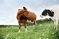 Cows standing face to face in meadow Stock Photo - Premium Royalty-Freenull, Code: 635-03373109