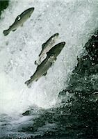 Salmon jumping in white water Stock Photo - Premium Royalty-Freenull, Code: 695-03380814