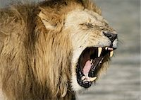 roar lion head picture - Lion roaring (Panthera leo), head and shoulders Stock Photo - Premium Royalty-Freenull, Code: 695-03381361