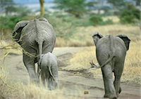 female rear end - African Bush Elephant family (Loxodonta africana) walking on dirt path, Botswana, Africa, rear view Stock Photo - Premium Royalty-Freenull, Code: 695-03381429
