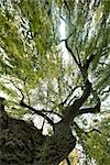 Low angle view of tree Stock Photo - Premium Royalty-Free, Artist: Janet Foster, Code: 695-03390573