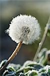 Frost-covered dandelion seed head Stock Photo - Premium Royalty-Free, Artist: Beanstock Images, Code: 696-03394813