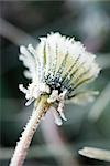 Frost-covered dandelion seed head Stock Photo - Premium Royalty-Free, Artist: Science Faction, Code: 696-03394818