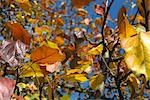 Autumn leaves Stock Photo - Premium Royalty-Freenull, Code: 696-03394989
