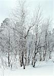 Sweden, snow-covered trees in snow Stock Photo - Premium Royalty-Free, Artist: Sheltered Images, Code: 696-03397250