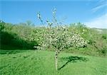 Fruit tree in bloom in grassy clearing Stock Photo - Premium Royalty-Free, Artist: Aflo Relax, Code: 696-03398067