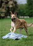 German shepherd, running. Stock Photo - Premium Royalty-Free, Artist: Minden Pictures, Code: 696-03398342